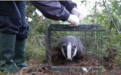 A badger successfully vaccinated and released on one of our participating farms.
